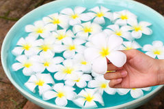 Plumeria in hand with celadon basin Royalty Free Stock Photography