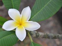 Plumeria hawaiano Fotografia Stock Libera da Diritti
