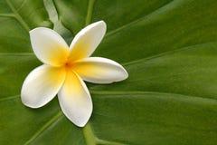 Plumeria hawaiano su verde Fotografia Stock
