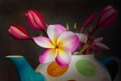 Plumeria hermoso o frangipani de la flor en tetera Imagenes de archivo