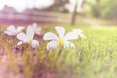 Plumeria hermoso que florece en la tierra Imagenes de archivo