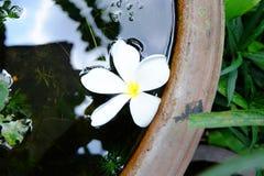 Plumeria in het bassin Royalty-vrije Stock Afbeelding