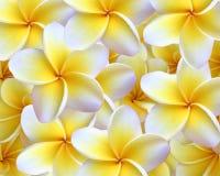 Plumeria-Hintergrund lizenzfreies stockfoto
