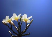 Plumeria i niebieskiego nieba tło Fotografia Royalty Free