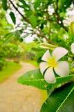 Plumeria im Garten Stockbilder