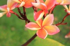 Plumeria im Garten Stockbild