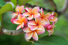 Plumeria Inflorescencia rosada hermosa Foto de archivo libre de regalías