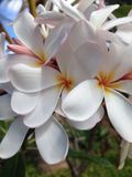 Plumeria royalty free stock photography