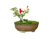Plumeria jardiniere Stock Image