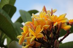 Plumeria jaune Photo stock