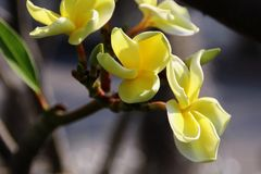 Plumeria jaune Photo stock