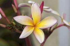 Plumeria Kathy G, Frangipani Lizenzfreies Stockfoto