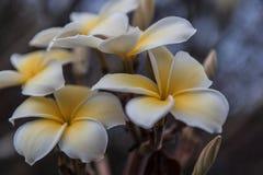 Plumeria Kona Стоковая Фотография RF