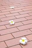 Plumeria kwiat Zdjęcie Stock