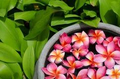 Plumeria kwiat Zdjęcie Royalty Free