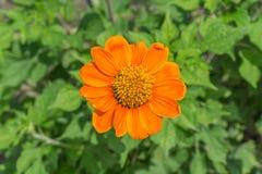 Plumeria kwiat Obrazy Royalty Free