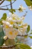 Plumeria kwiat Obraz Royalty Free