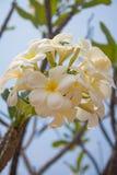 Plumeria kwiat Zdjęcia Royalty Free
