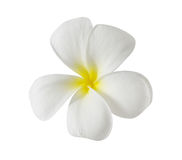 Plumeria kwiat Obraz Stock