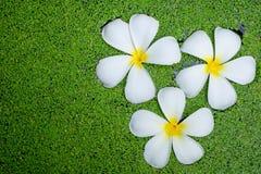 Plumeria kwiat Obrazy Stock