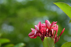Plumeria kwiat Zdjęcia Stock