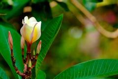 Plumeria kwiat Fotografia Stock