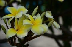 Plumeria kwiat białe kwiaty Kolorowi kwiaty z kroplami woda po deszczu Różowy azalia kwiatu światło słoneczne piękne różowy kwiat Obraz Royalty Free
