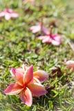 Plumeria kwiat bossoming Zdjęcie Stock