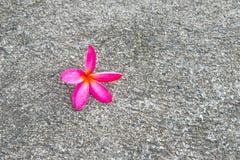 Plumeria kwiat, frangipani kwiat Zdjęcia Royalty Free