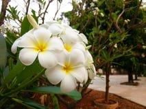 Plumeria kwiat II Obraz Royalty Free