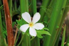 Plumeria kwiat Kwiat Zdjęcie Royalty Free