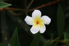 Plumeria kwiat Kwiat Obraz Stock