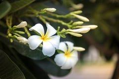 Plumeria kwiat kwitnie w ranku fotografia stock