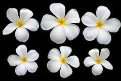 Plumeria kwiat na czarnym tle Zdjęcie Stock