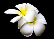 Plumeria kwiat na czarnym tle Obraz Stock