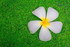 Plumeria kwiat na mech Zdjęcie Stock