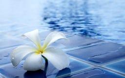Plumeria kwiat na pływackim basenie Obraz Stock