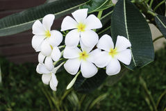 Plumeria kwiat na Tajlandia Zdjęcia Stock