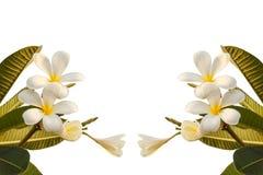 Plumeria kwiat odizolowywający na białym tle Fotografia Royalty Free