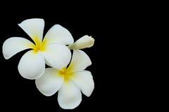 Plumeria kwiat odizolowywający na czarnym backgroud z kopii przestrzenią Zdjęcia Stock