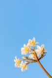 Plumeria kwiat przeciw niebieskiemu niebu Zdjęcia Royalty Free
