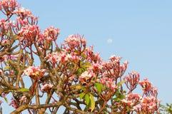 Plumeria kwiat przeciw niebieskiemu niebu Obraz Stock