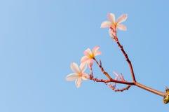 Plumeria kwiat przeciw niebieskiemu niebu Zdjęcia Stock