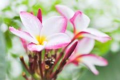 Plumeria kwiat W ogródzie Fotografia Royalty Free