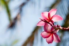 Plumeria kwiat w pełnego kwiatu woni zasadzającej w ogródzie Zdjęcie Stock