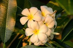 Plumeria kwiat w pełnego kwiatu woni zasadzającej w ogródzie Obrazy Royalty Free