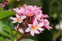 Plumeria kwiat w pełnego kwiatu woni zasadzającej w ogródzie Obrazy Stock