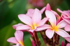 Plumeria kwiat w pełnego kwiatu woni zasadzającej w ogródzie Zdjęcia Stock