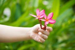 Plumeria kwiat w ręce Fotografia Stock