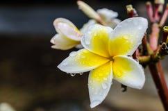 Plumeria kwiat z wodnymi kroplami Obraz Stock